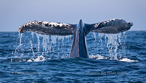 Humpback Whale tail with Orca rake marks, photo by Daniel Bianchetta