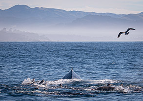 Humpback Whale with California Sea Lions and gull, photo by Daniel Bianchetta