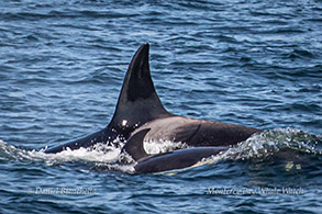 Killer Whales mother and juvenile photo by Daniel Bianchetta