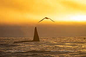Male Killer Whale and Albatross at sunset, photo by Daniel Bianchetta