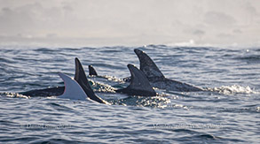 Risso's Dolphins Casper the albino and friends, photo by Daniel Bianchetta