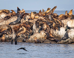 California Sea Lions and Brandt's Cormorants on the breakwater, photo by Daniel Bianchetta