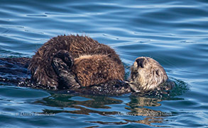 Southern Sea Otters mother and pup, photo by Daniel Bianchetta