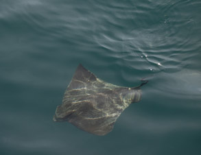 Bat Ray, photo by Daniel Bianchetta