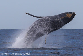 Breaching Humpback Whale, photo by Daniel Bianchetta