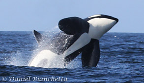Click to learn about the all-day Killer Whale trips