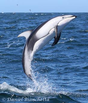 Monterey Bay Whale Watch Marine Mammal Sightings List May 2013 - photo#34
