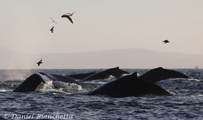 Five Humpback Whales, photo by Daniel Bianchetta
