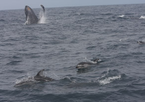 Humpback Whale and Pacific White-sided Dolphins, photo by Lori Beraha