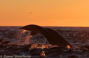 Humpback Whale at sunset, photo by Daniel Bianchetta
