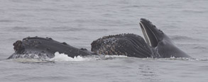 Humpback with calf lunge feeding, photo by Daniel Bianchetta