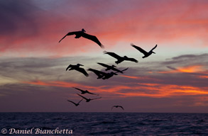 Pelicans at sunset, photo by Daniel Bianchetta
