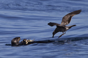Seagull approaching Sea Otter with crab, photo by Daniel Bianchetta
