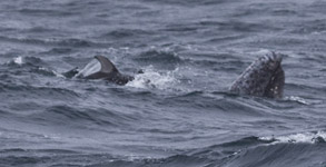 Spy-hopping Gray Whale and Pacific White-sided Dolphin, photo by Daniel Bianchetta