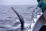 Humpback Whale approaches boat