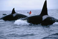 Nancy Black tracking Killer Whales, photo by Grace Atkins