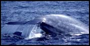 Click for larger Blue Whale photo